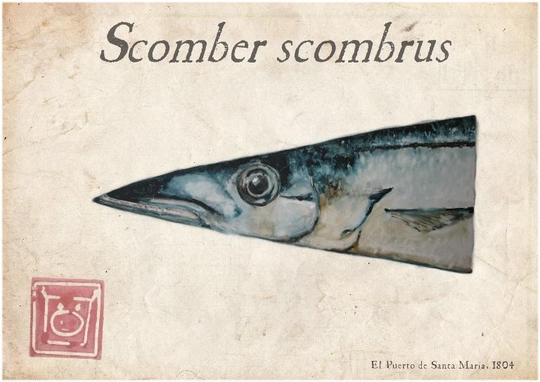 Scomber scombrus (caballa)