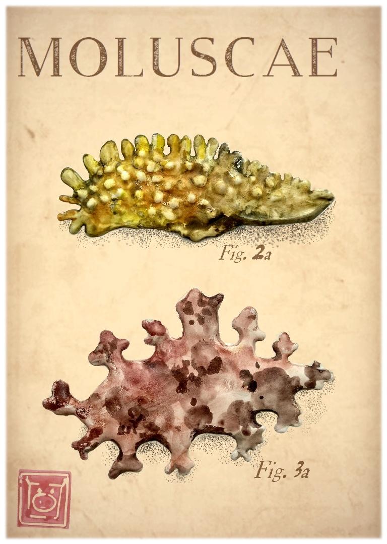 moluscae