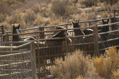 "Newsletter From ""Saving America's Mustangs"""