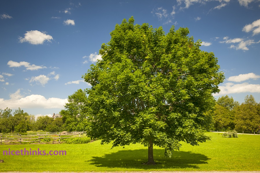 Large single maple tree on sunny summer day in green field with