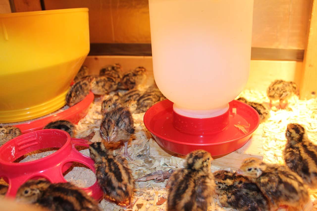 Japanese Quail or Jumbo Brown Coturnix Quail Chicks