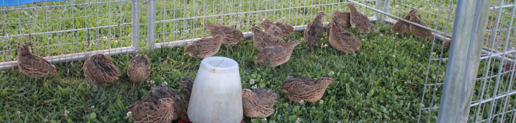 Loudounberry_-Farm_Pasture_Quail