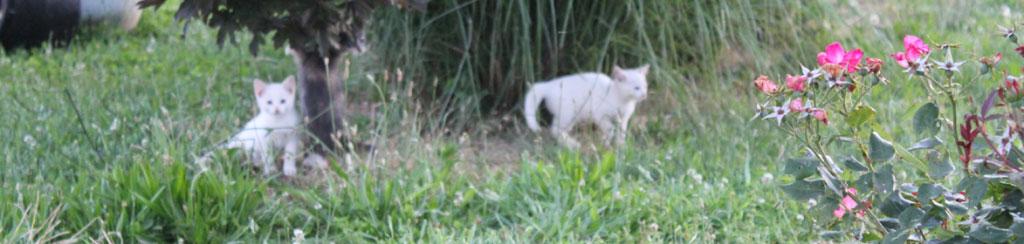Loudounberry_Farm_White_Kittens