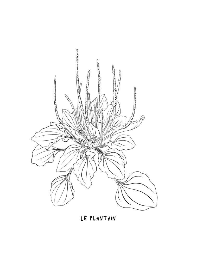 Illustration botanique du plantain par Mélika Illustration