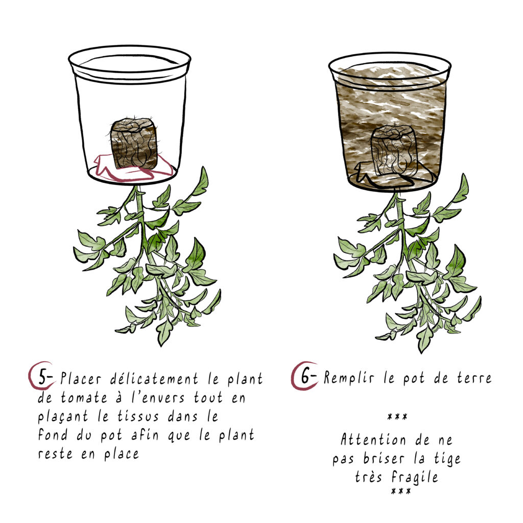 tomates étapes 5-6-MelikaIllustration