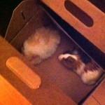 The guinea pigs arrived today!