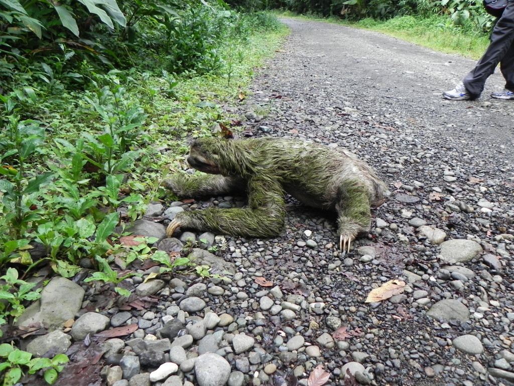 How long does it take for a sloth to cross the road?  Apparently a VERY long time.