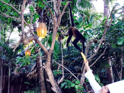 Chef feeding the monkeys that live in the trees above the Viceroy!