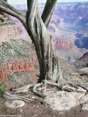 Dead-Juniper-Grand-Canyon