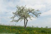Lone-Apple-Tree