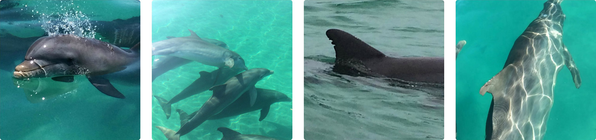 Dolphins swimming in Key West