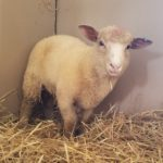 Welcome Harland the Lamb!