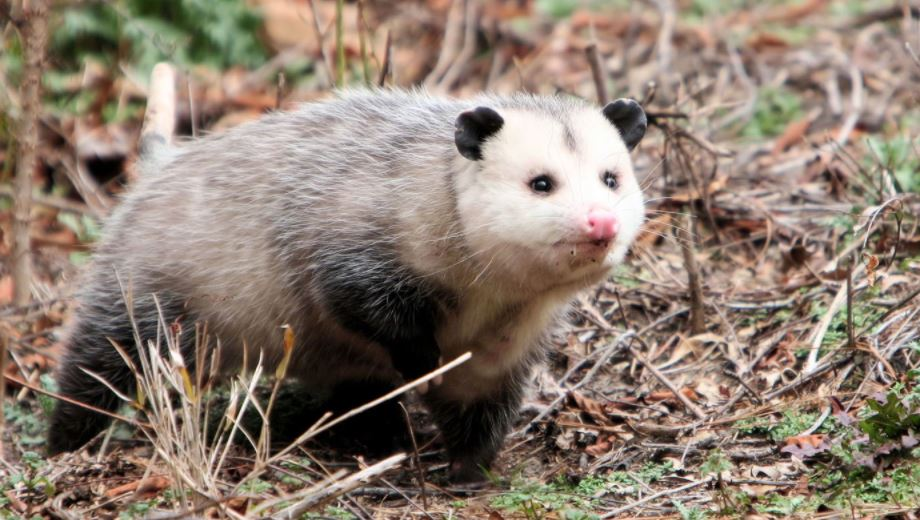 Opossum Removal Services