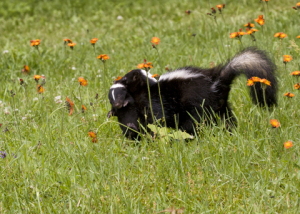 How to get rid of skunks!