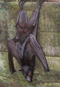 Bat Control Removal Burlington-Oakville