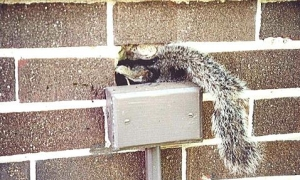 Squirrel Removal Service Burlington Oakville Waterdown