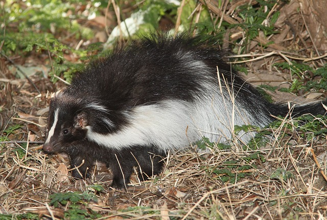 When Skunks Get Under Your Deck…Don't Delay Getting Rid of Them!