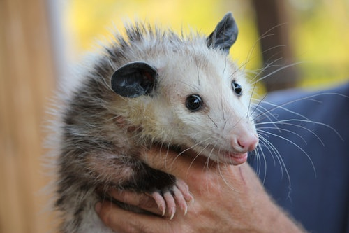 Opossum and Your Property – Removal and Prevention