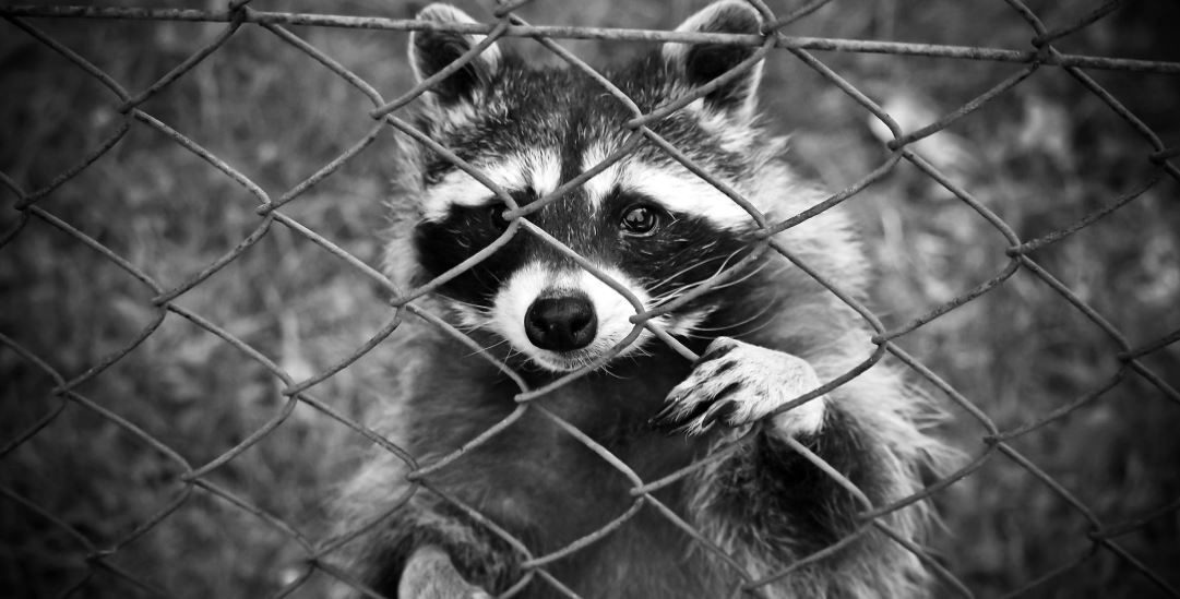 Top Ways to Deter and Get Rid of Raccoons