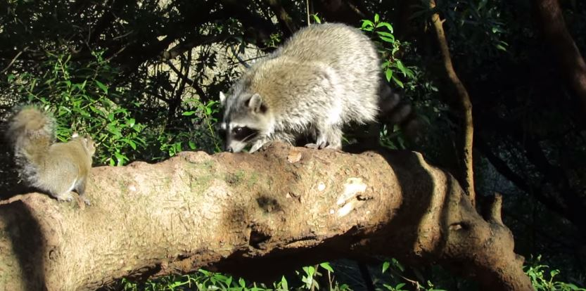 Squirrels or Raccoons: Which is the bigger nuisance?