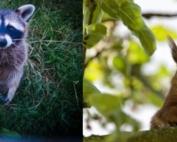 Raccoons Squirrels Pests in Attic