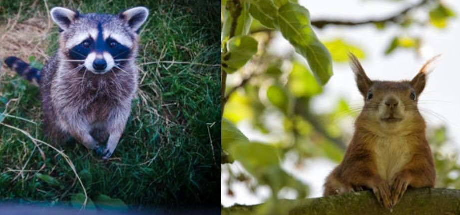 Why squirrels and racoons love your attic?