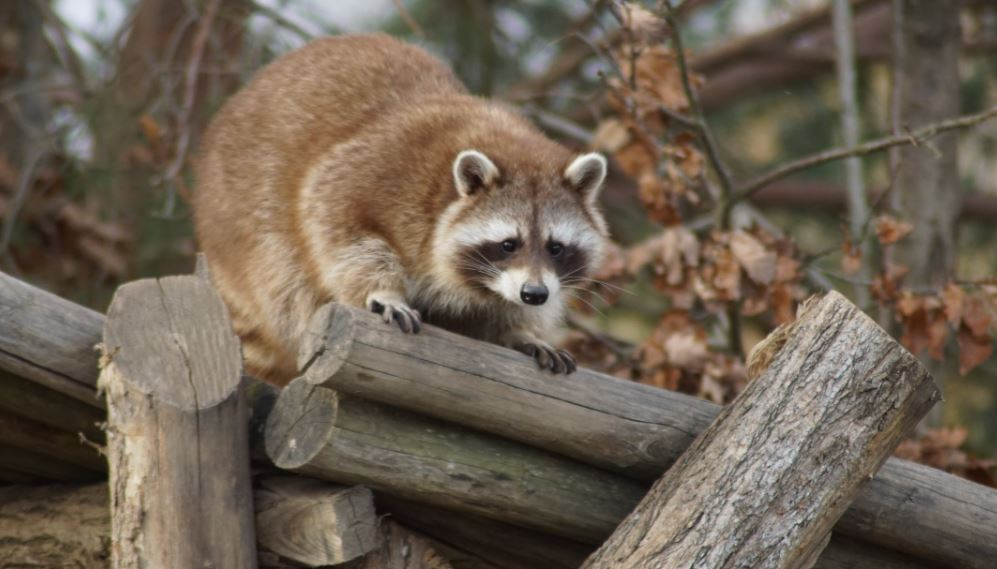 How to get raccoons out of your attic?