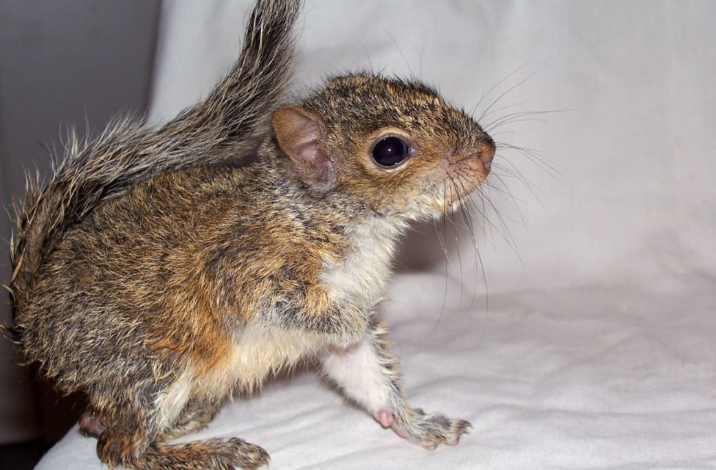 Why Squirrels Will Have Babies in Your House This Season