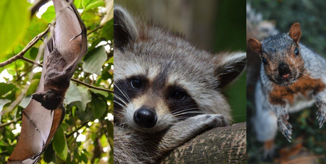 Burlington & Oakville – The Top 3 Animals Found in Your Attic