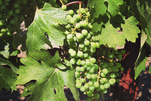 Grapes ripening to eventually become fantastic wine from Bourassa Vineyards