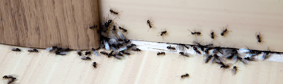 Ants – A1 Howies Exterminating