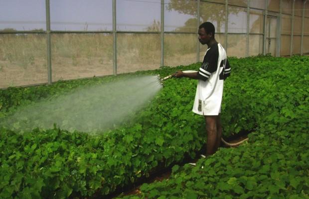 Producción de jatropha para biocombustible en Gambia.