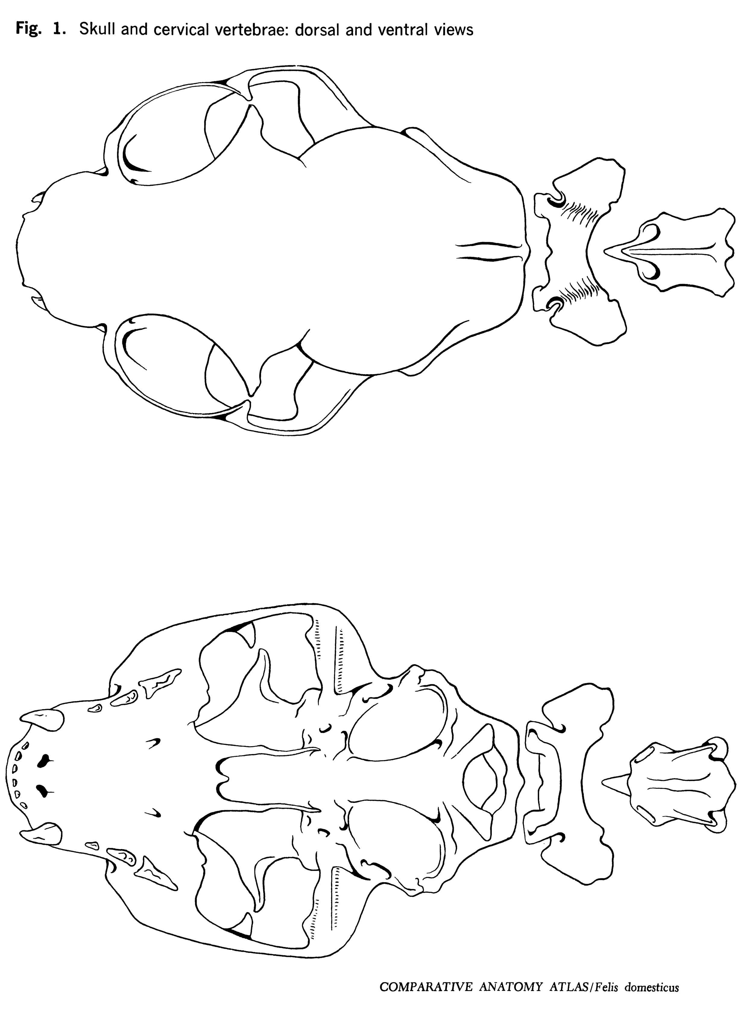 Felis domesticus Figure 1