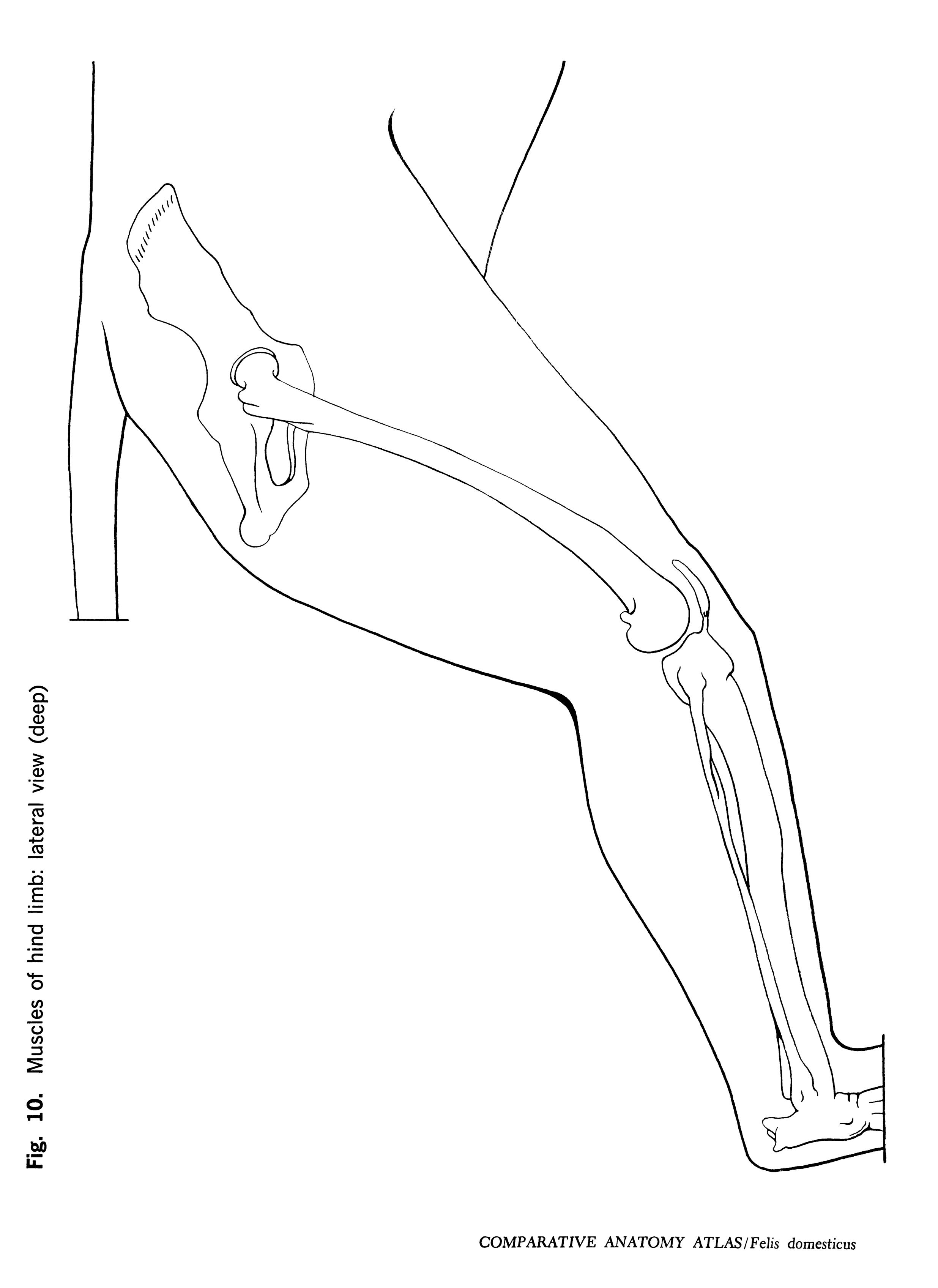 Felis domesticus Figure 10