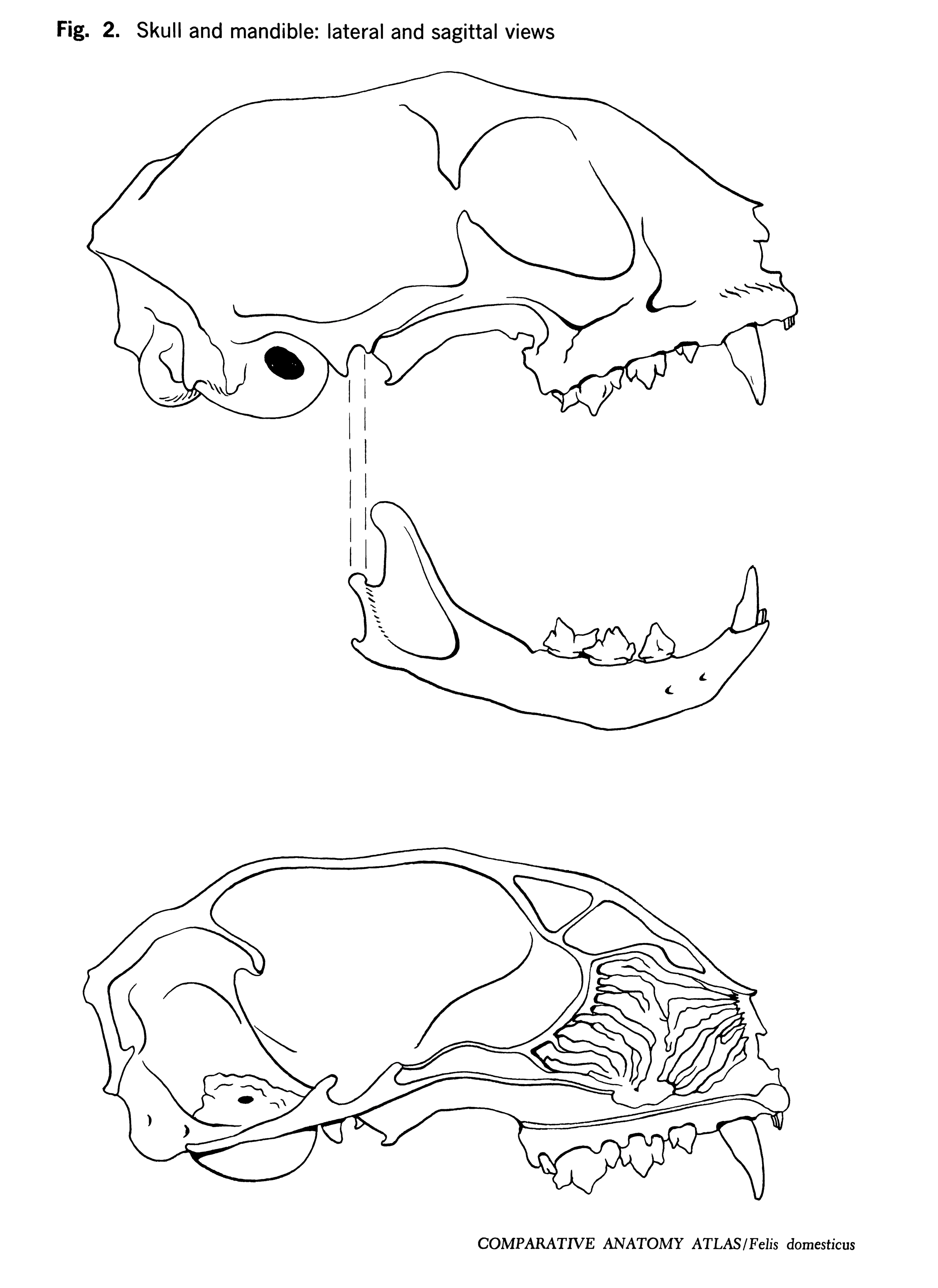 Felis domesticus Figure 2