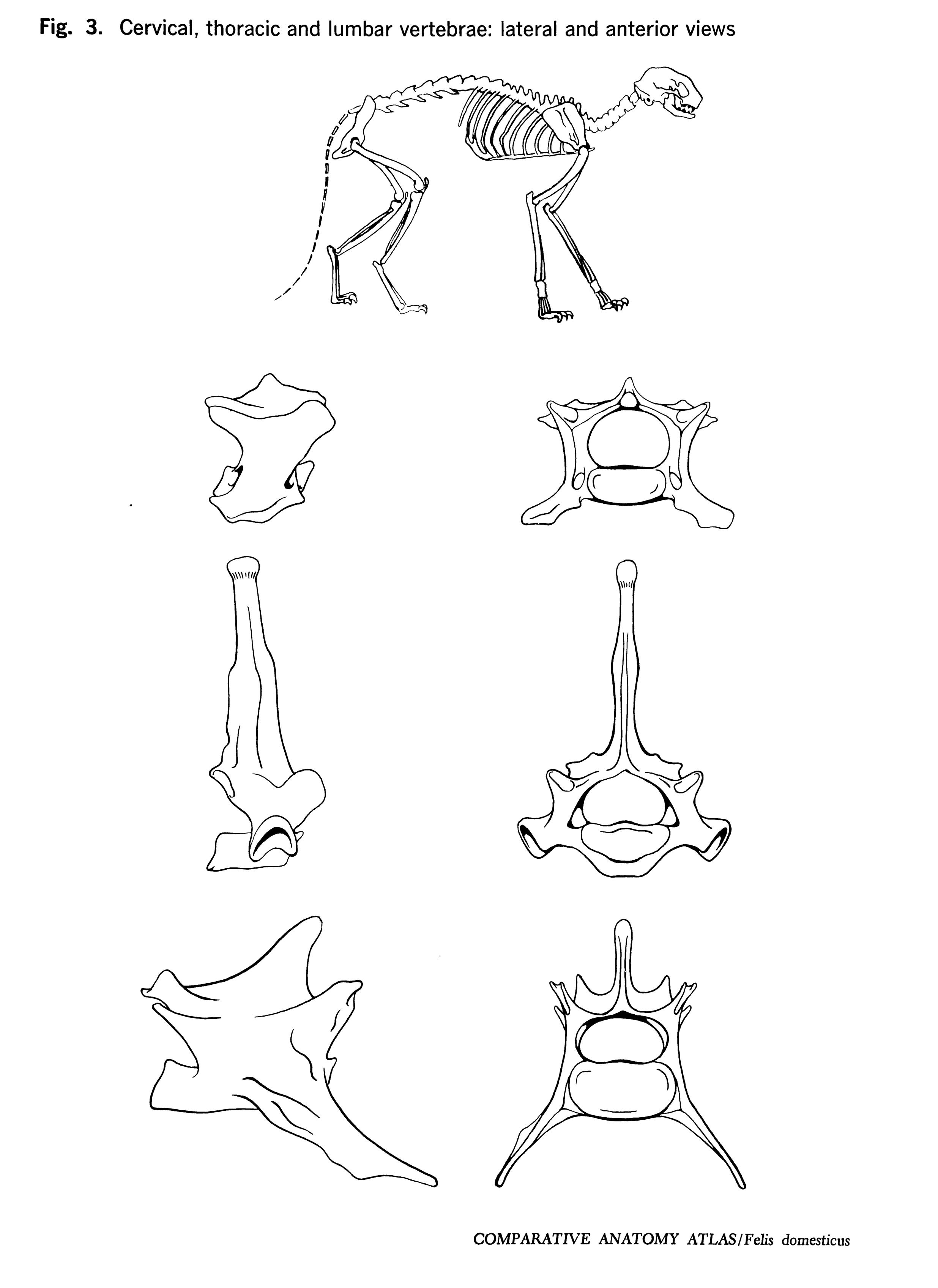 Felis domesticus Figure 3