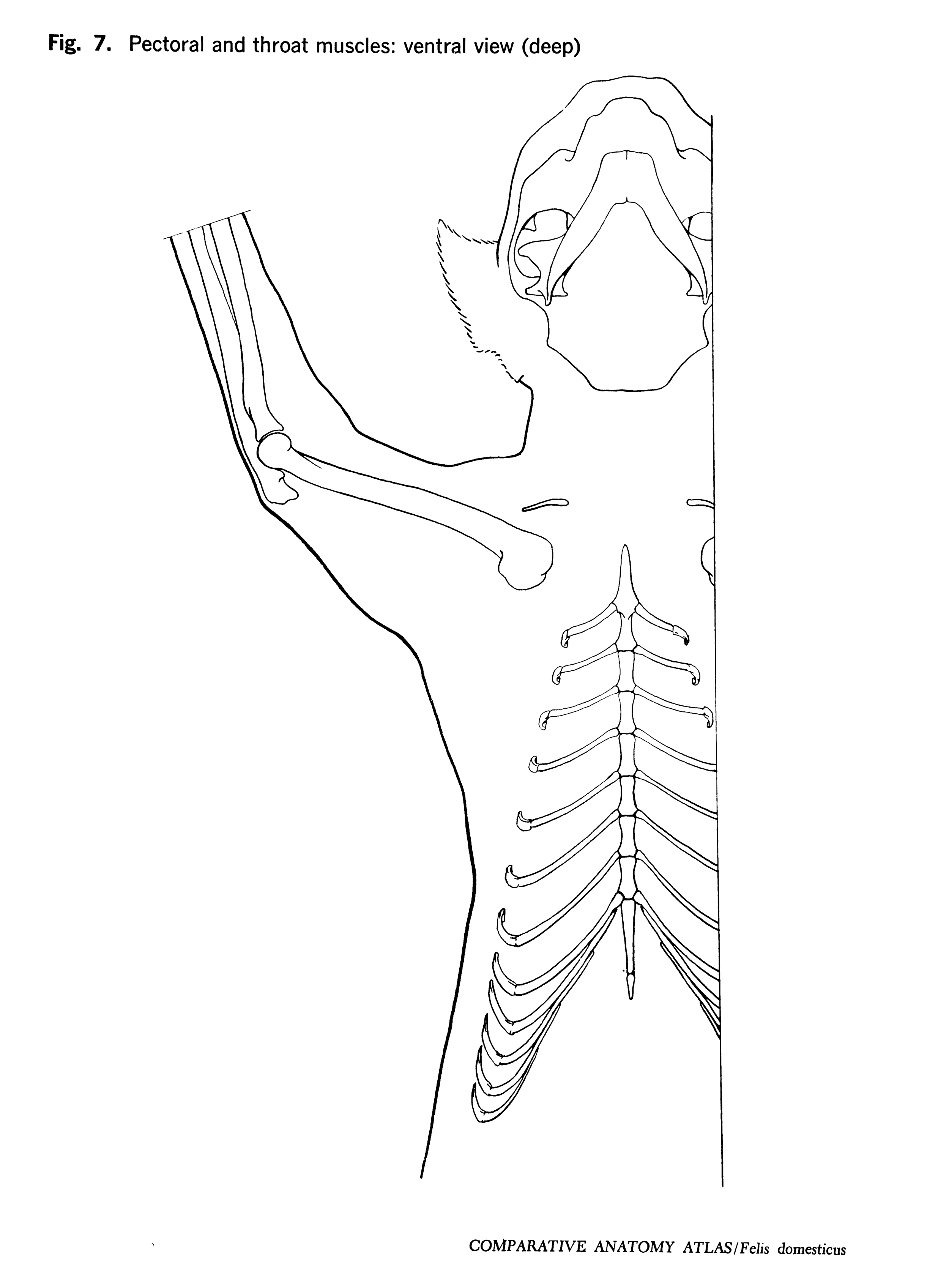 Felis domesticus Figure 7