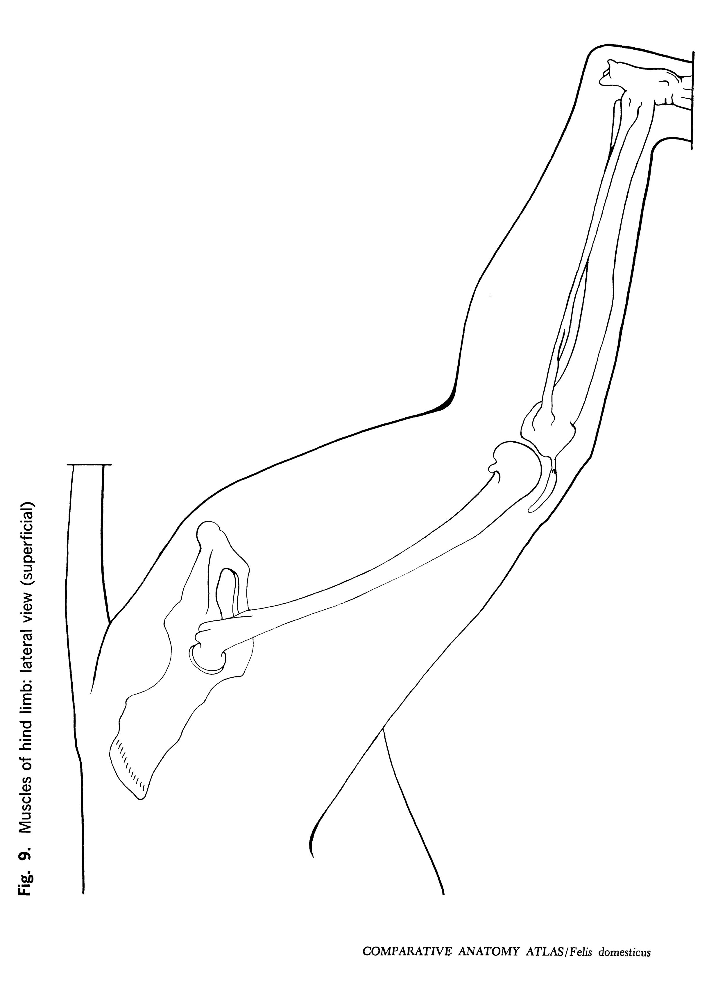Felis domesticus Figure 9