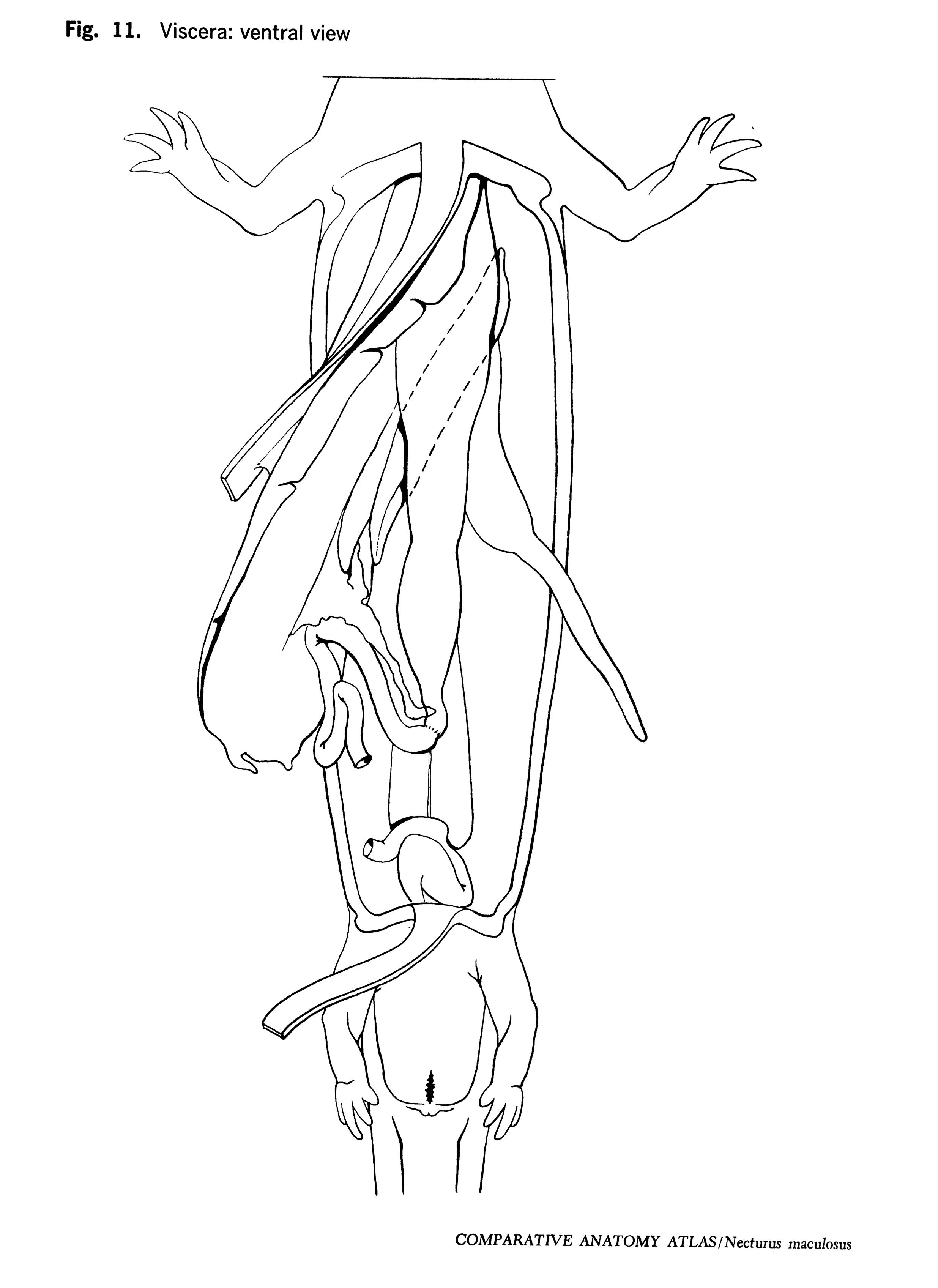 Necturus maculosus Figure 11