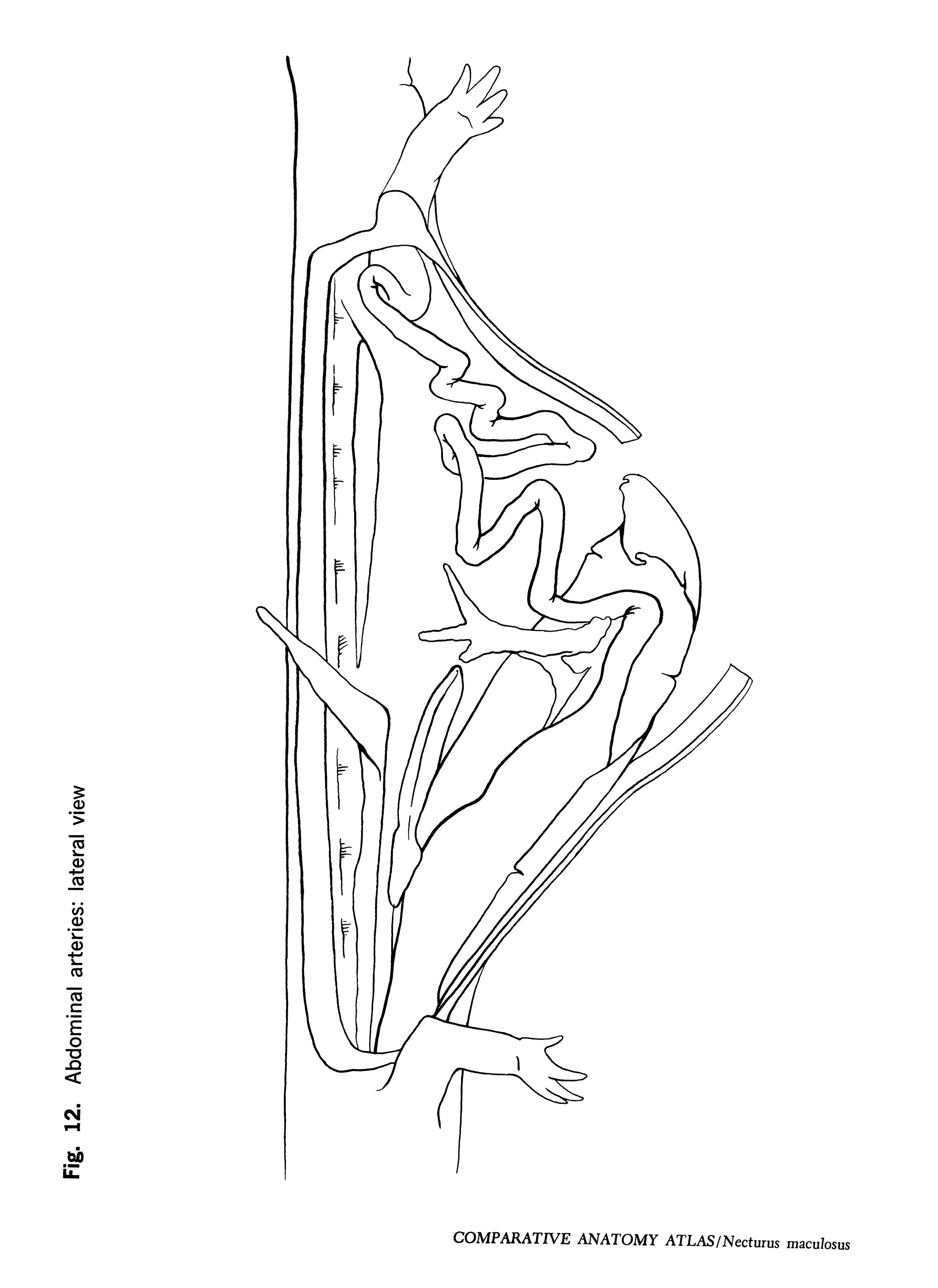 Necturus maculosus Figure 12