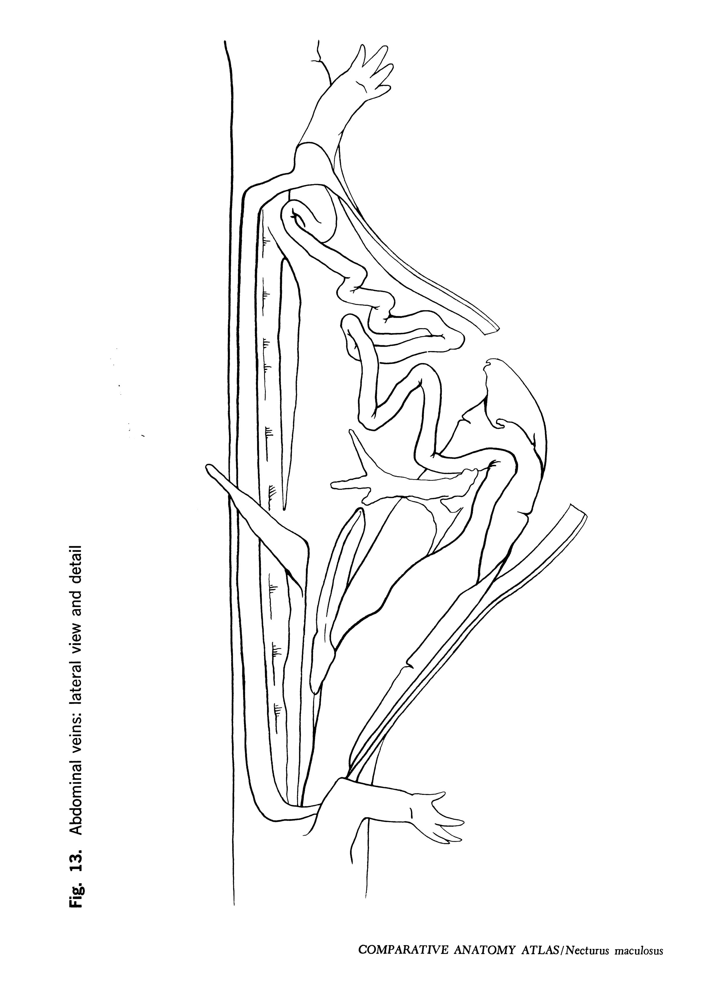 Necturus maculosus Figure 13