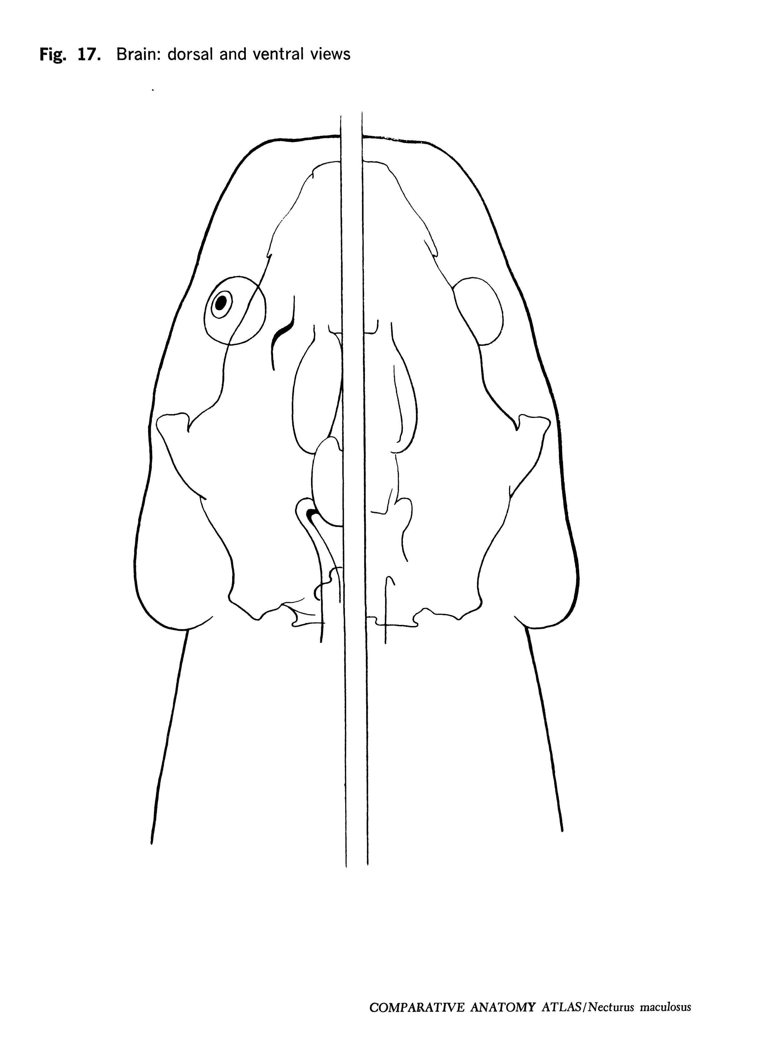 Necturus maculosus Figure 17