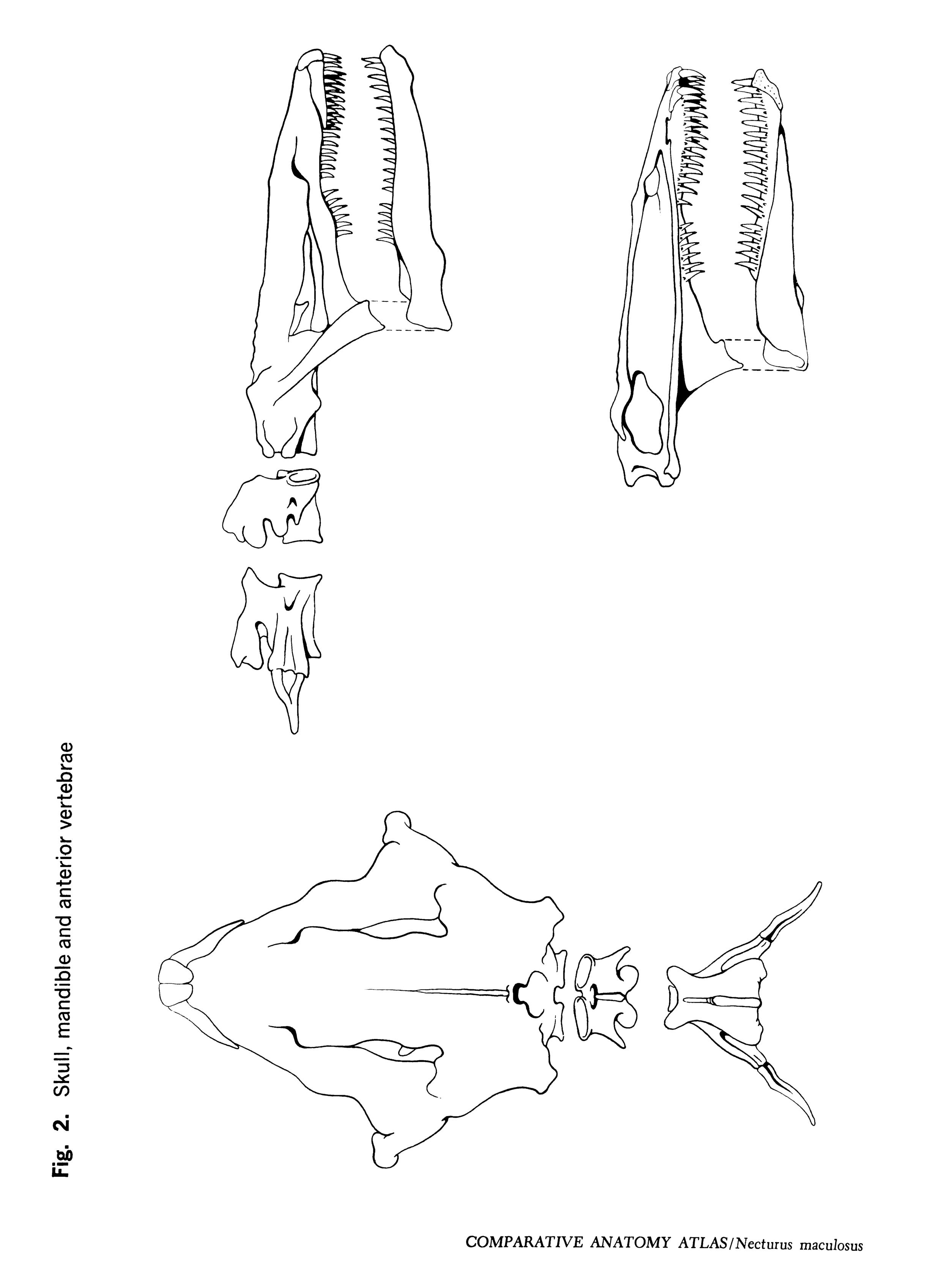 Necturus maculosus Figure 2