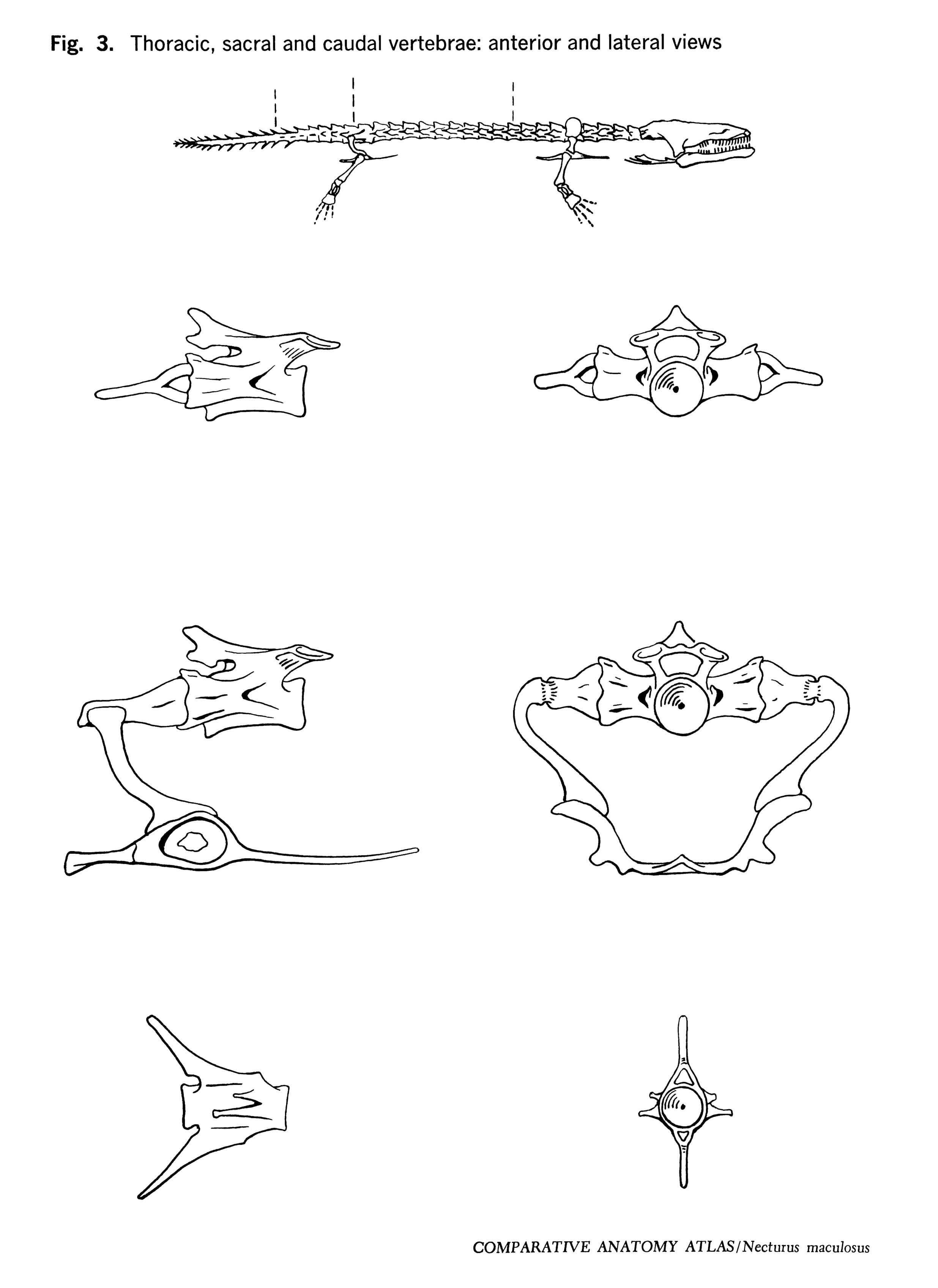 Necturus maculosus Figure 3