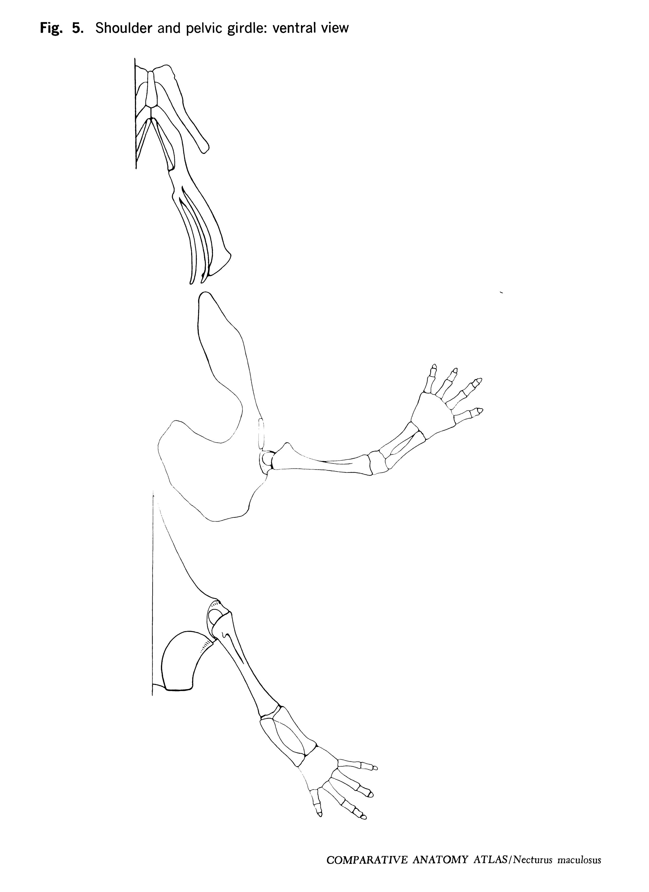 Necturus maculosus Figure 5