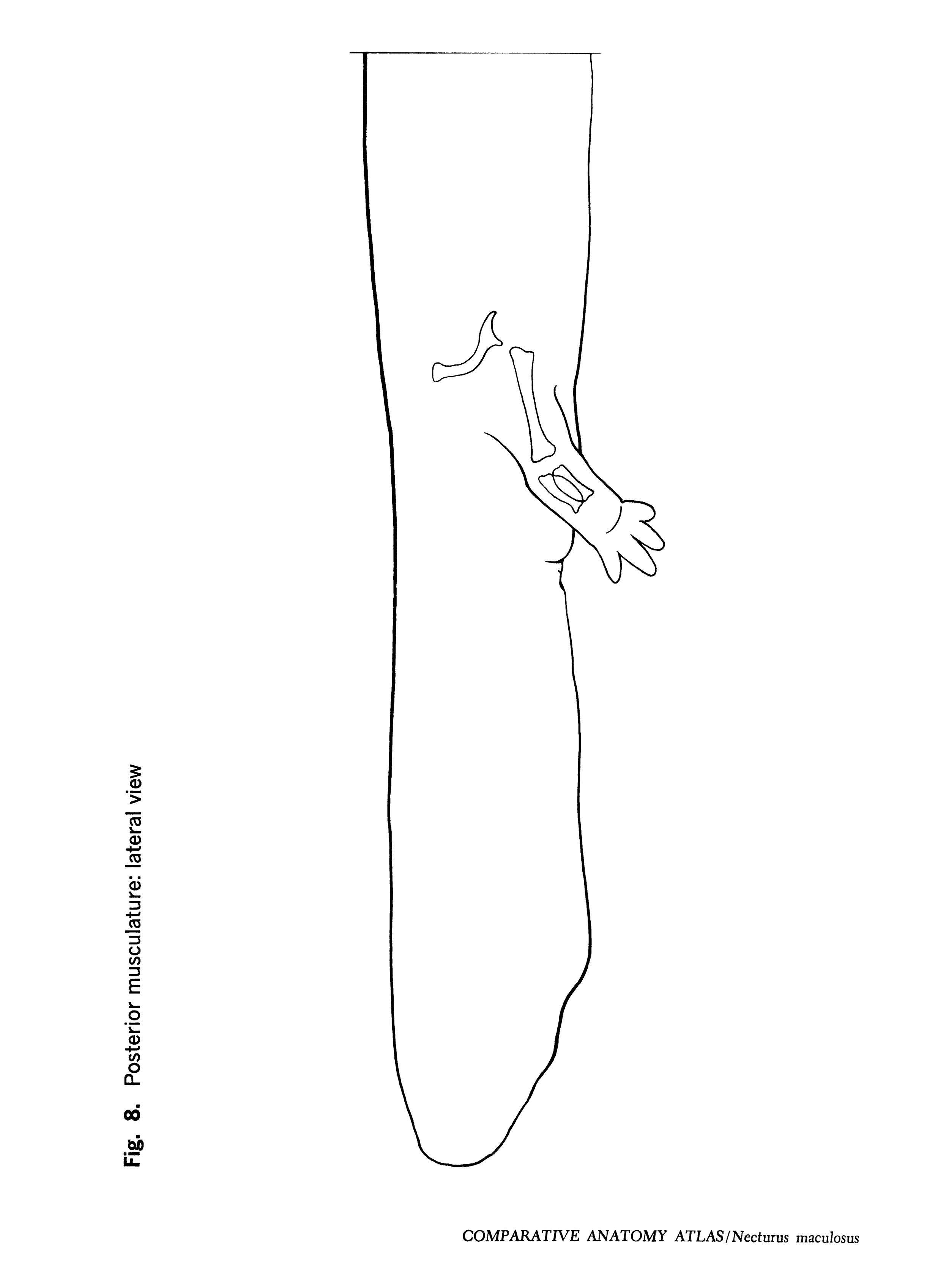 Necturus maculosus Figure 8