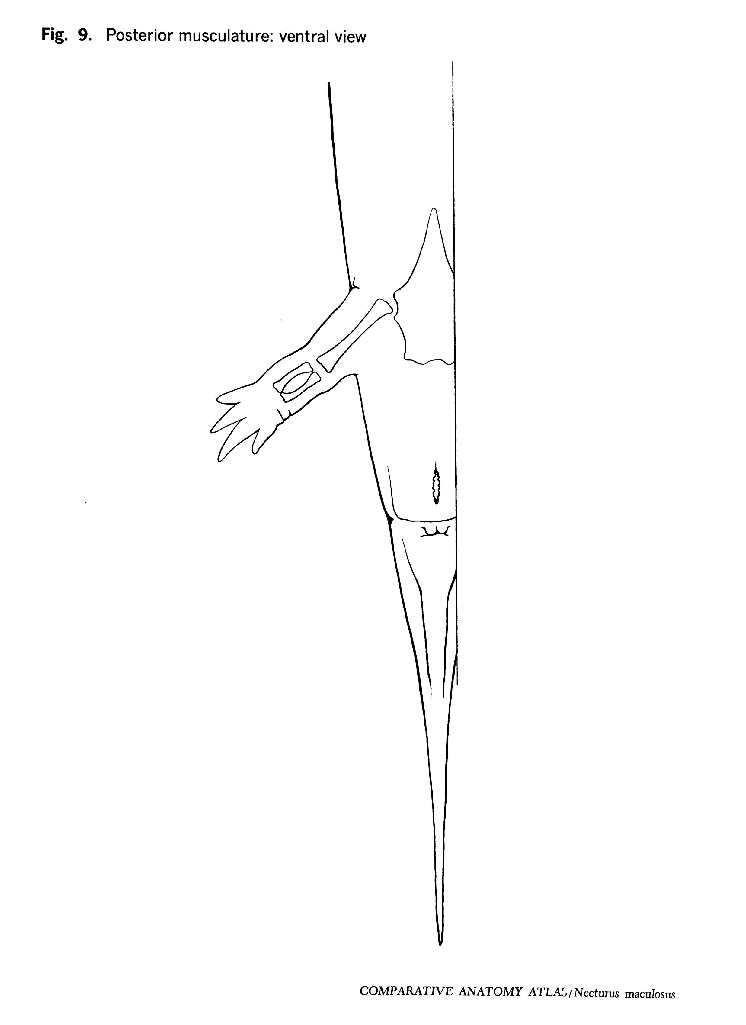 Necturus maculosus Figure 9