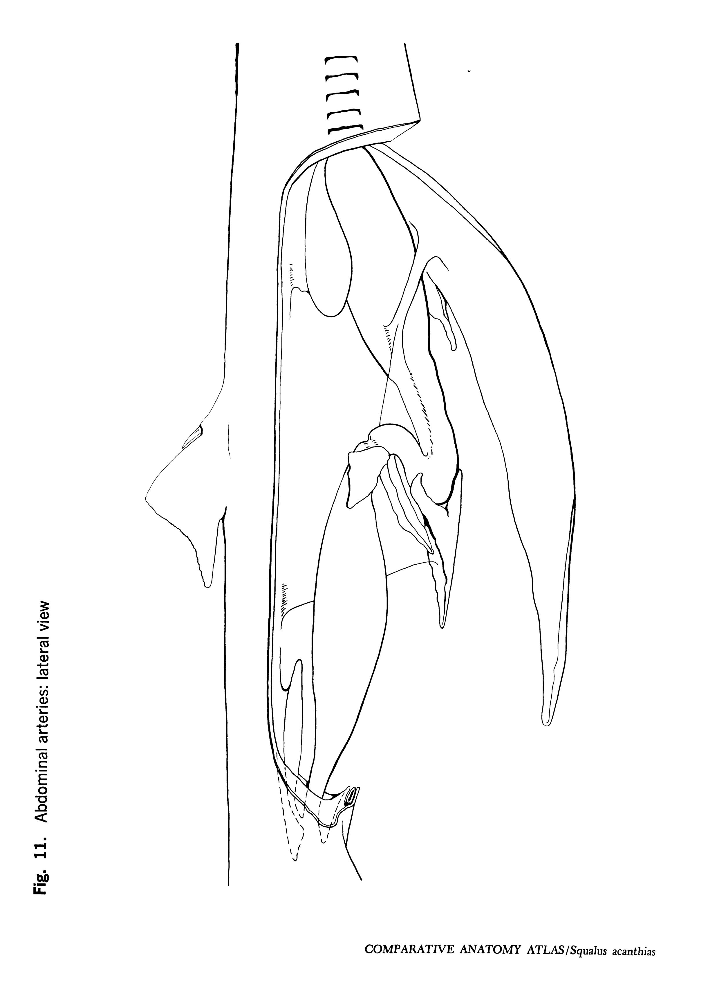 Squalus acantbias Figure 11