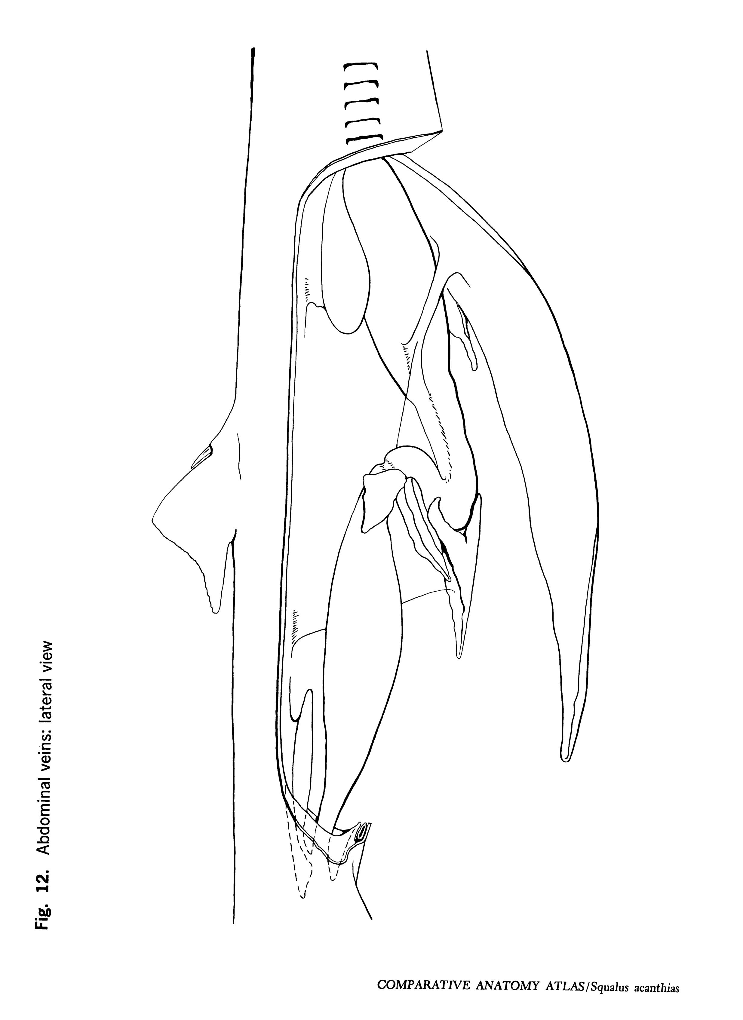 Squalus acantbias Figure 12