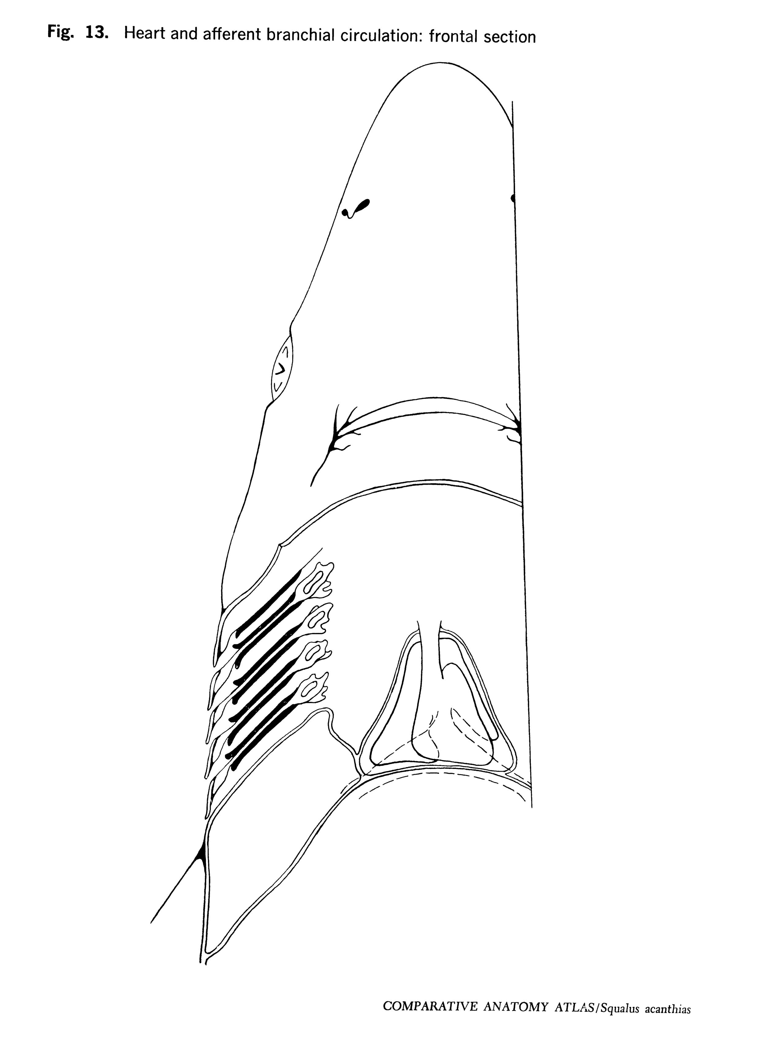 Squalus acantbias Figure 13